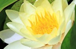 water-lily-yellow